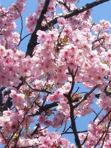 緋寒桜-2