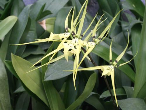 Brassia chlorantha