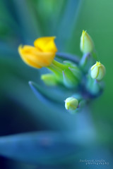 Little by little (anthonyserafin) Tags: blue flower macro green beautiful yellow canon flora focus soft dof bokeh 100mm bloom 28 bud amazingamateur 5dmark2 anthonyserafin