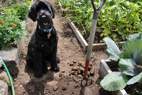 skippy with 1st potato harvest