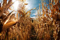 where soul meets body (sadaiche (Peter Franc)) Tags: life newzealand sun field sunshine freedom golden corn farming sparkle crop cultivation eastcape cultivate