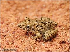 Field Frog (Fejervarya limnocharis) (Green Baron Pro) Tags: frog bunker malaysia 200902