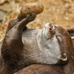 I Could Do This In My Sleep !! (Gary's Photos!!) Tags: england london nature animal canon asian photography eos zoo photo foto britain wildlife short otter londonzoo clawed garywilson 70300do asianshortclawedotter