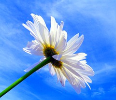 I want to touch the sky..!! (UpmaSharma) Tags: blue sky white flower green nature photography petals nikon angle coolpix daisy wa kirkland bellevue sharma upma p80 upmasharma