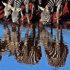 Zebras Drinking at Sunrise (jay_kilifi) Tags: africa morning blackandwhite reflection sunrise saturated kenya stripes drinking safari zebra tsavo reflectsobcessions