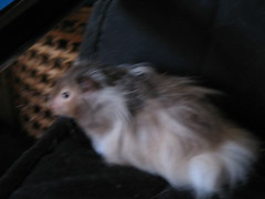 Gandolf (Animal Rescuer) Tags: hamsters