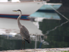 Great Blue Heron (donsutherland1) Tags: summer ny newyork reflection bird heron nature water boats july harborisland greatblueheron birdwatcher mamaroneck harborislandpark blueribbonwinner natureselegantshots
