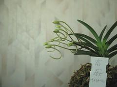 Neofinetia falcata 'Fugaku'(?) (dudlik) Tags: falcata フウラン neofinetia fugaku