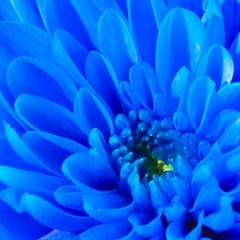 Blue Flower (manu4971) Tags: blue france flower macro nature fleur beautiful closeup canon garden eos 350d petals flora europe natural flor maine jardin sigma bleu topc100 105 loire topv100 flore angers végétation anjou pétales platinumheartaward