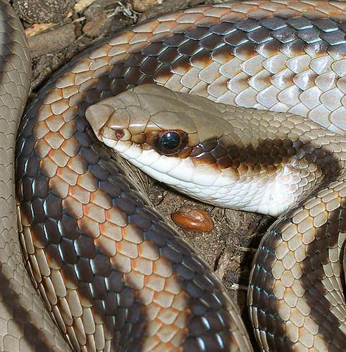 Mountain Patchnose Snake, Patchnose Snakes