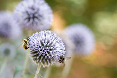 I'd Rather Bee Dreaming (Peggy Collins) Tags: flowers blue canada garden flora bokeh britishcolumbia insects bee pacificnorthwest penderharbour sunshinecoast pollinate pollination beeandflower bluemonday busybees pollinators mondayblues blueglobethistle peggycollins