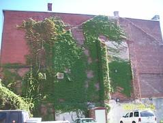 Lowell, Massachusetts (wallygrom) Tags: usa massachusetts lowell parthenocissus bostonivy parthenocissusveitchii