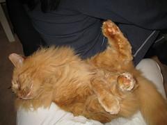 Pink paws・桃色の足 (drayy) Tags: orange cat ginger paw soft legs leg fluffy mainecoon neko paws 猫 rolling ggg creamsicles 足 かわいい 桃色 cc800 cc700 cc400 cc300 cc200 cc100 cc500 cc1000 cc600 cc900 cc1100 oreengeness velvetpaws thebiggestgroupwithonlycats 転がる catnipaddicts