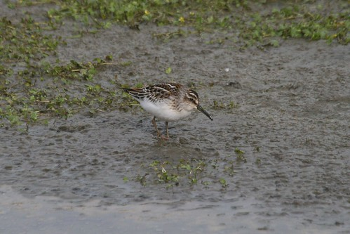 Broad-billed Sandpiper, St. Paul Island--courtesy Scott Schuette.