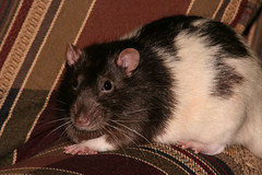 Chester -- June ??, 2007 to September 9, 2009 (l33twave) Tags: cute rodent rat passing grief bereft