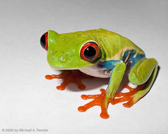 Rozen the Red Eyed Tree Frog (Michael Pancier Photography) Tags: macro green closeup amphibian frog sapo rana rozen seor crooner agalychniscallidryas redeyedtreefrog hfl itainteasybeinggreen hml g10 michaelpancier michaelpancierphotography oldredeyes canong10 ctvb caribbeanamphibian yeahtellittotheeagles centralamericanfrogs wwwmichaelpancierphotographycom seorcohiba
