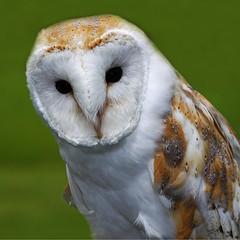 Barn Owl Portrait (Ian Lambert) Tags: uk portrait barn country owl preston birdofprey tytoalba potofgold theunforgettablepictures thewonderfulworldofbirds