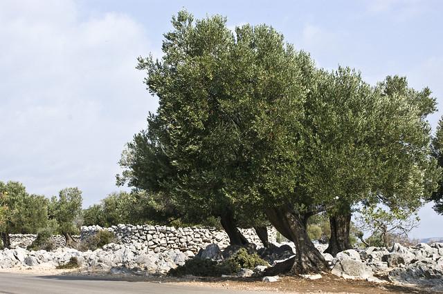 50 alter olivenbaum lun