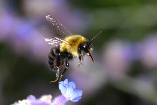 Bumblebee liftoff