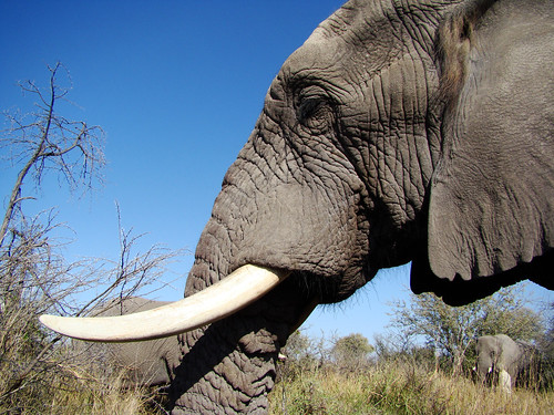 Elephant profile picture