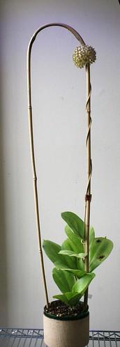 Hoya lambii plant