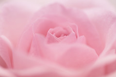 pink dreams (nathan camarillo) Tags: pink roses flower macro rose nikon blumen 60mm d90 digitalcameraclub flickraward