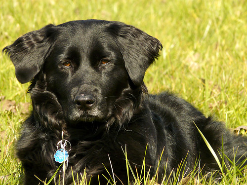 ... Retriever Black Lab Mix Flickr Photo Sharing | Dog Breeds Picture