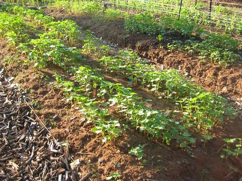 buckwheat beds