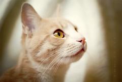 (Untuvikko) Tags: cat kitten peterpan