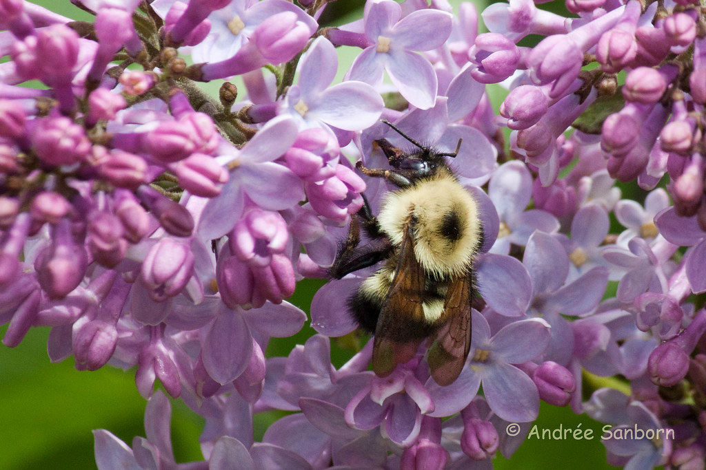 Bumblebee on Lilacs-5.jpg