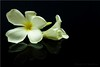 Fragrant Frangipani (uvaisjm - Al Seylani Photography) Tags: flowers white reflection composition flora perfume plumeria fragrant frangipani pure araliya tabletopphotography floralstilllife