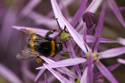 419/1000 - Bee on an allium by Mark Carline