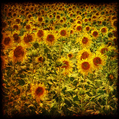 Sunflowers South Africa (dave in norfolk) Tags: summer flower green texture field yellow southafrica warm sunflower ghostbones 500x500 bsquare flowerscolors daveturner fineartphotos memoriesbook flickrsmasterpieces imagesforthelittelprince thepyramidgroup