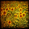 Sunflowers South Africa (dave in norfolk) Tags: summer flower green texture field yellow southafrica warm sunflower ghostbones 500x500 bsquare flowerscolors daveturner fineartphotos memoriesbook flickrsmasterpieces imagesforthelittelprince thepyramidgroup