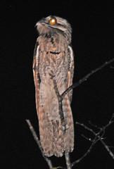 WMex09_D-40-0253a (jerryoldenettel) Tags: bird mexico nayarit 2009 sanblas nightjar potoo northernpotoo nyctibius nyctibiusjamaicensis caprimulgid caprimulgiformes nyctibiidae singayta