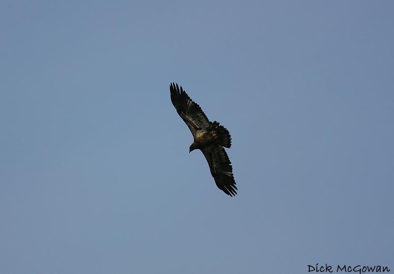 Bald Eagle?