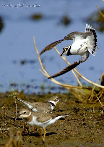 Jump! | Plovers | Kanakpura Road