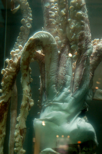 Preserved Giant Squid