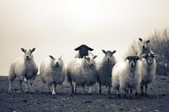 Four legs good...two legs baaaad! (Dan Baillie) Tags: winter blackandwhite wool mono scotland sheep farm orwell portfolio agriculture ram livestock animalplanet galloway animalfarm dumfriesandgalloway puddock wigtownshire danbaillie onephotoweeklycontest kirkcowan bailliephotographycouk bailliephotography wigtownshirephotographer dumfriesandgallowayphotography