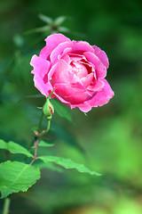 February Rose In Bokeh-Land! Happy Birthday Mum! (kathleenjacksonphotography) Tags: pink green nature rose florida bokeh enjoylife myfrontyard