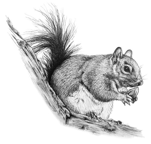 Squirrel Black And White Drawing Grey Squirrel