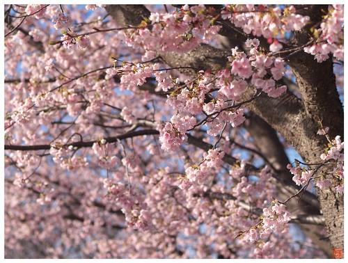 Cherry blossoms 090316 #03