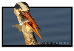 Great Blue Heron Action Figure (w/ Kung Fu Grip) (Nikographer [Jon]) Tags: light fish bird birds sunrise march mar lenstagged md nikon maryland prey behavior complex 2009 greatblueheron outofbounds oob d300 gbh 200400mm marylandseasternshore blackwaternationalwildliferefuge nikond300 200400mmf4vr ed200400mmf4gifvr imagesforblog1 20090321d30054515
