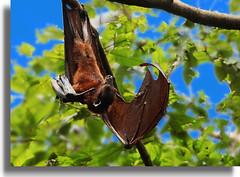 DSC_8806.JPGa Malayan flying fox (chiang arthur) Tags: animal wildlife flyingfox malayanflyingfox