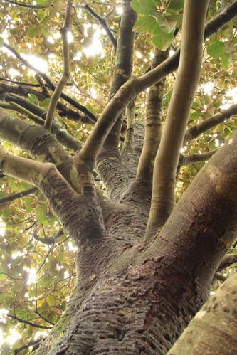 magnoliatrunk