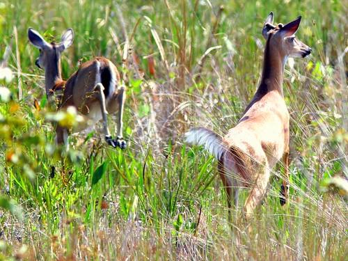 Deer 20090330