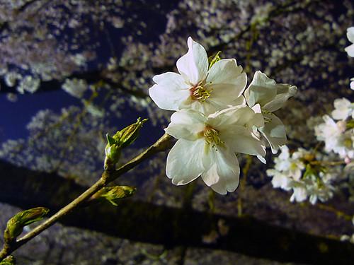 大法師桜'09_4