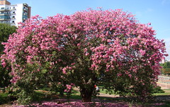Barriguda / Paineira-rosa / Cotton-silk-tree (Ceiba speciosa) Park Ceret Sao Paulo. Brazilian native tree