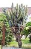 Chaco Apple Cactus (Cereus forbesii) .......... UCLE ....... original = (2116 x 3398) (turdusprosopis) Tags: cactus cactaceae cactos cereus floweringtrees ucle cactácea cactáceas cereusvalidus floraargentina cactoideae cactusdeargentina argentinecactus plantasargentinas plantasdeargentina árbolesargentinos plantasautóctonasargentinas plantasautóctonasdelaargentina floraautóctonaargentina floraautóctonadeargentina plantasnativasargentinas plantasnativasdeargentina plantasnativasdelaargentina plantasparaguayas árbolesautóctonosargentinos floradelaargentina floradeargentina plantasautóctonasdeargentina floraautóctonadelaargentina floradelparaguay floradeparaguay plantasautóctonasdelparaguay plantasautóctonasparaguayas plantasnativasdeparaguay cactusargentinos cactusdelaargentina cactáceasargentinas plantasbolivianas floradebolivia plantasdebolivia argentineflowers argentineindigenousplants floweringtreesofargentine argentinascactus cactusofargentina floraboliviana argentineindigenousflowers argentinetrees argentineflora floweringplantsofargentine boliviantrees cactáceasdeargentina cactáceasdelaargentina bolivianflowers bolivianplants floratucumana floradetucumán floradejujuy floracatamarqueña floradecatamarca plantasdelarioja florariojana cereussp florasalteña argentinasflowers argentinassflora argentinastrees piptanthocereusvalidus floraofargentina floraofbolivia cereusforbesii piptanthocereusforbesii florachaqueña plantasdelchaco