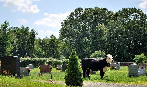 The cow in Dean Cemetery